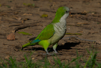 Monk Parrots: Texas Invasive Species Institute